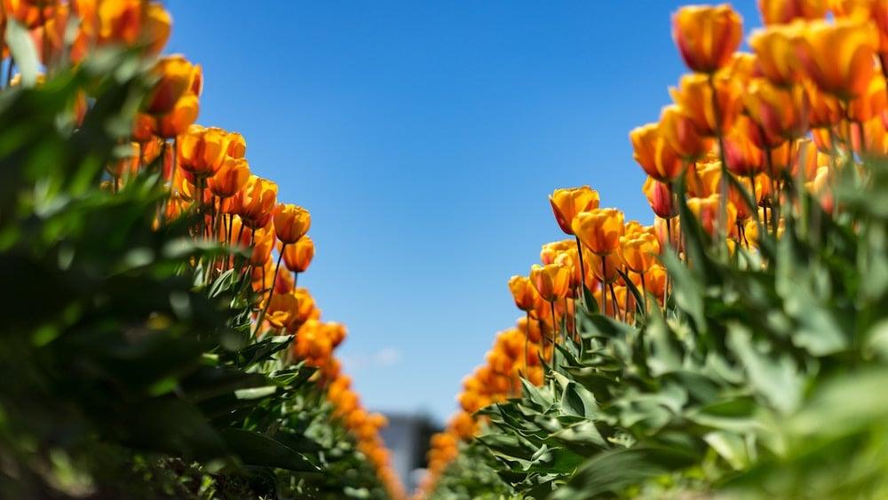 fioritura-tulipani-olanda-bici-e-barca-2